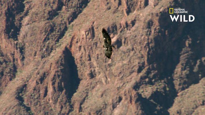 Le condor de Californie