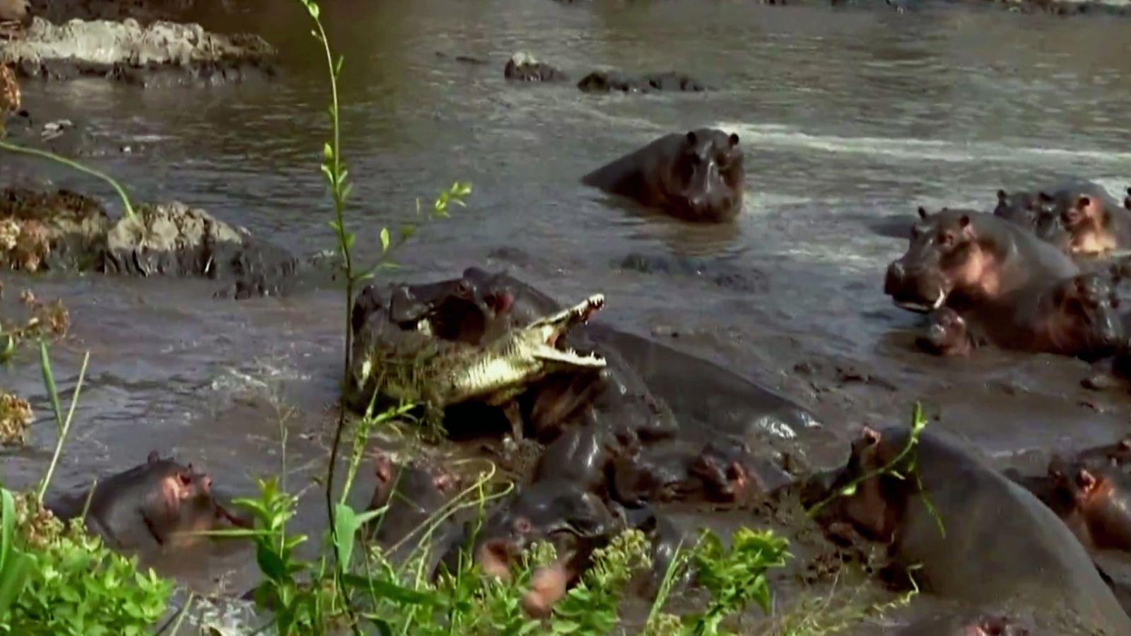 Un crocodile se bat contre des hippopotames