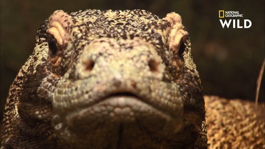 Le puissant venin du dragon de Komodo