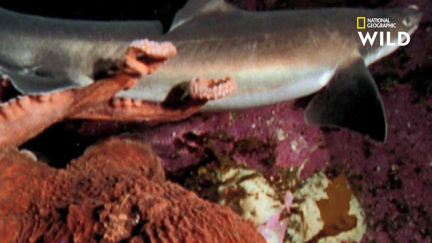 Poulpe contre requin : duel de chasseurs mortels