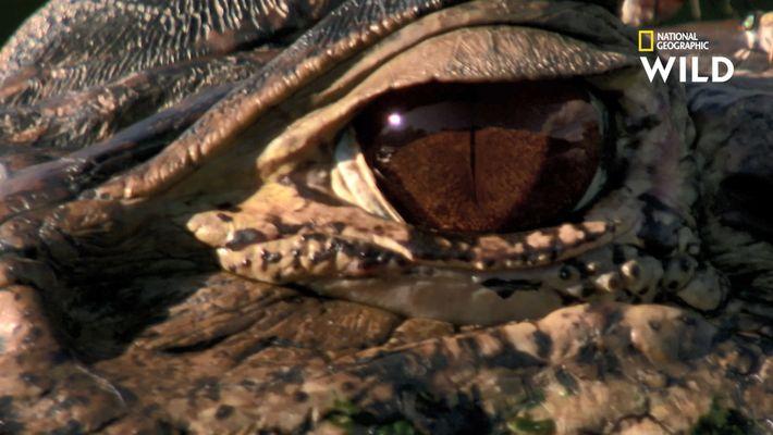 Des loutres s'attaquent à un caïman de 5 mètres de long