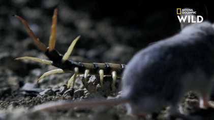Le combat mortel d'une souris carnivore et d'un scolopendre