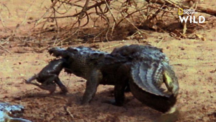 Des babouins affrontent un crococile