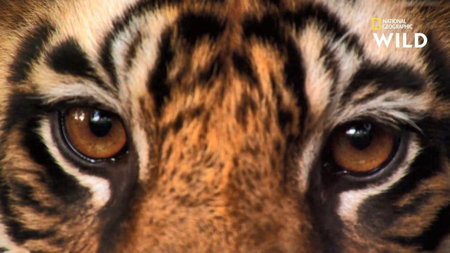 Un maman ours protège son petit de l'attaque d'un tigre du Bengale