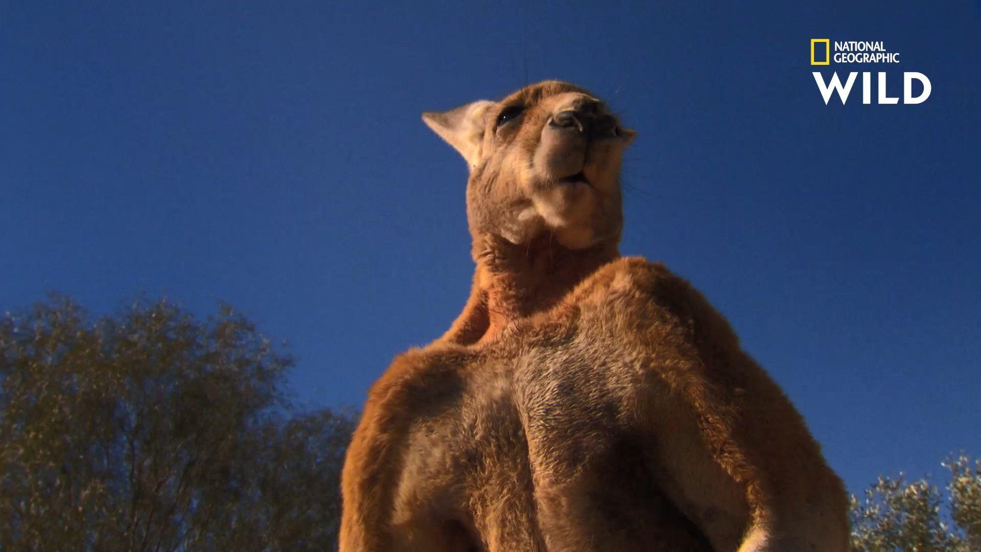 Le kangourou roux, bagarreur dans l'âme