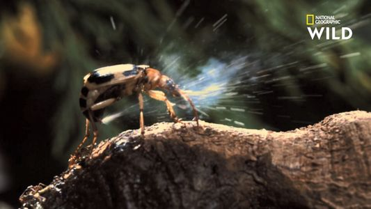 L'attaque chimique de ce coléoptère l'a sauvé d'une mort certaine