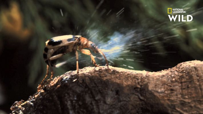 L'attaque de ce coléoptère est considérée comme une aberration scientifique