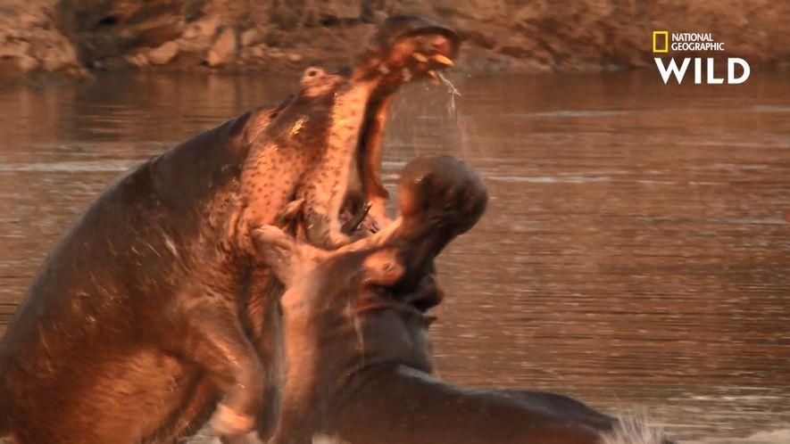 Ces hippopotames s'affrontent violemment
