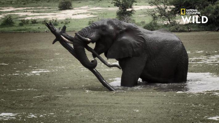Les éléphantes, mamans les plus intimidantes de la planète