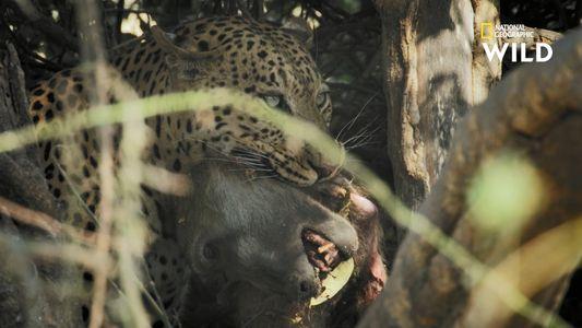 La vengeance du léopard