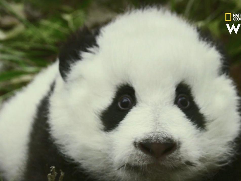 Un jeune panda de 25 kilos chahute dans un arbre