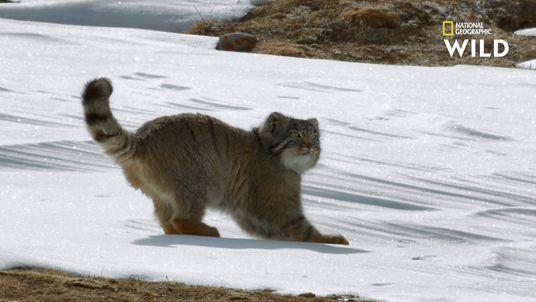 Le manul : l'un des plus petits chasseurs au monde