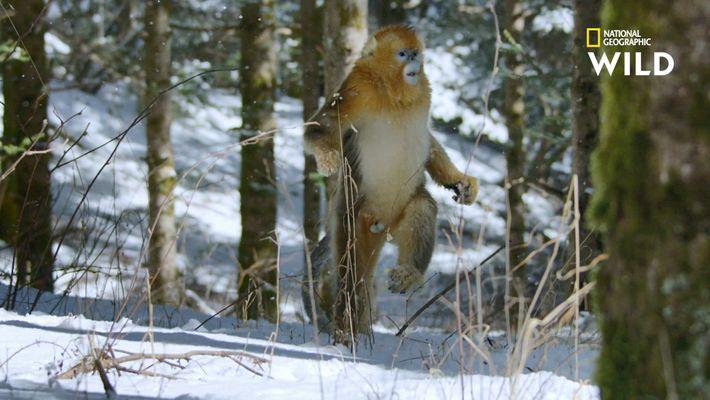 Ce singe est le seul à savoir marcher sur la neige debout