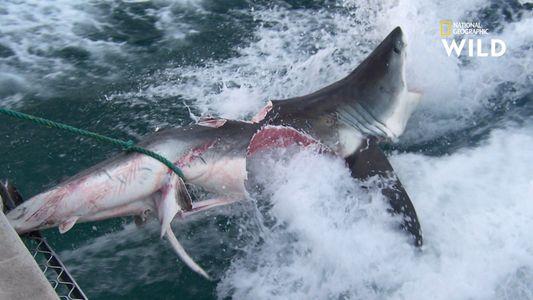 Chez les requins, le cannibalisme est une pratique répandue