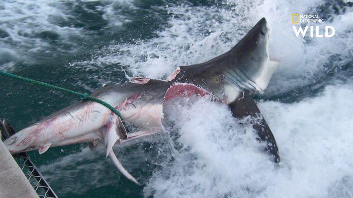 Chez le requin, le cannibalisme est plus courant qu'on ne le pense