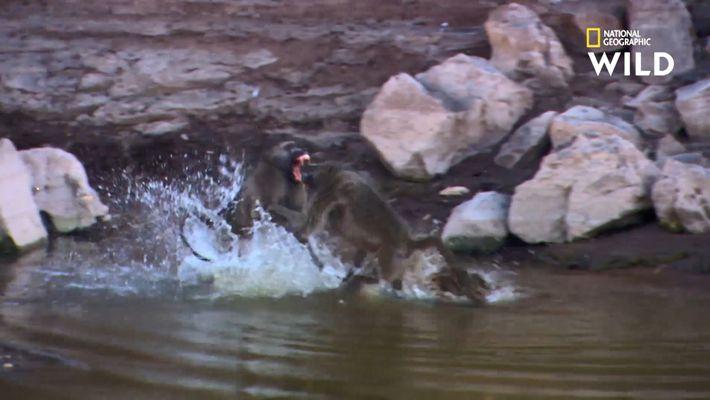 Le babouin, un animal courageux et violent