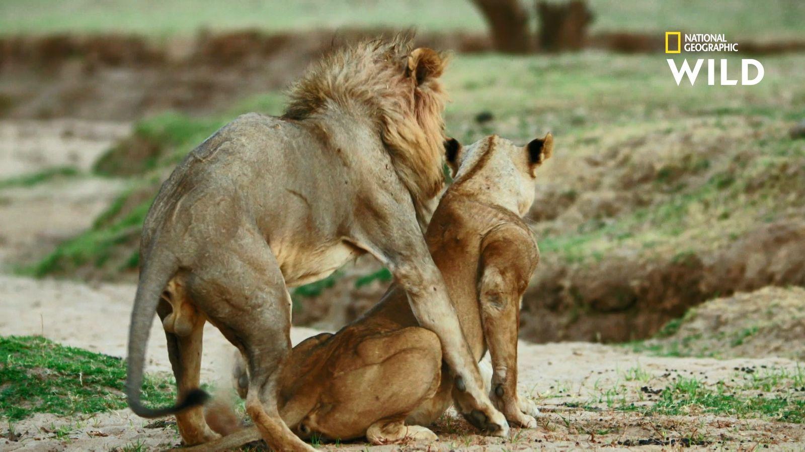 Ces lionnes ne pourront pas tomber enceintes malgré leurs tentatives d'accouplement