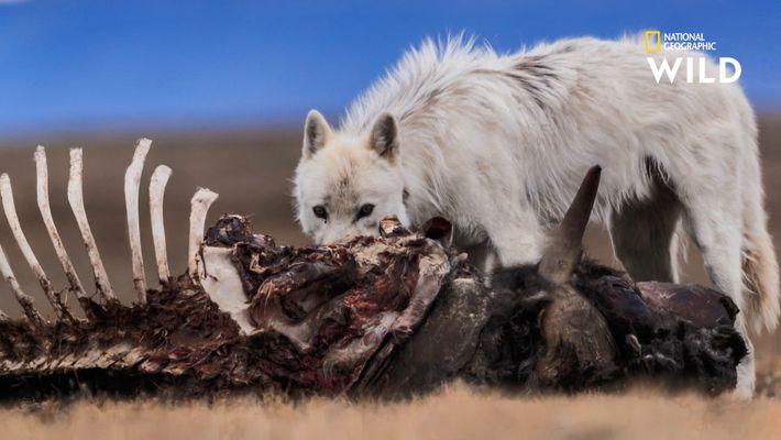 L'imprudence d'un loup solitaire