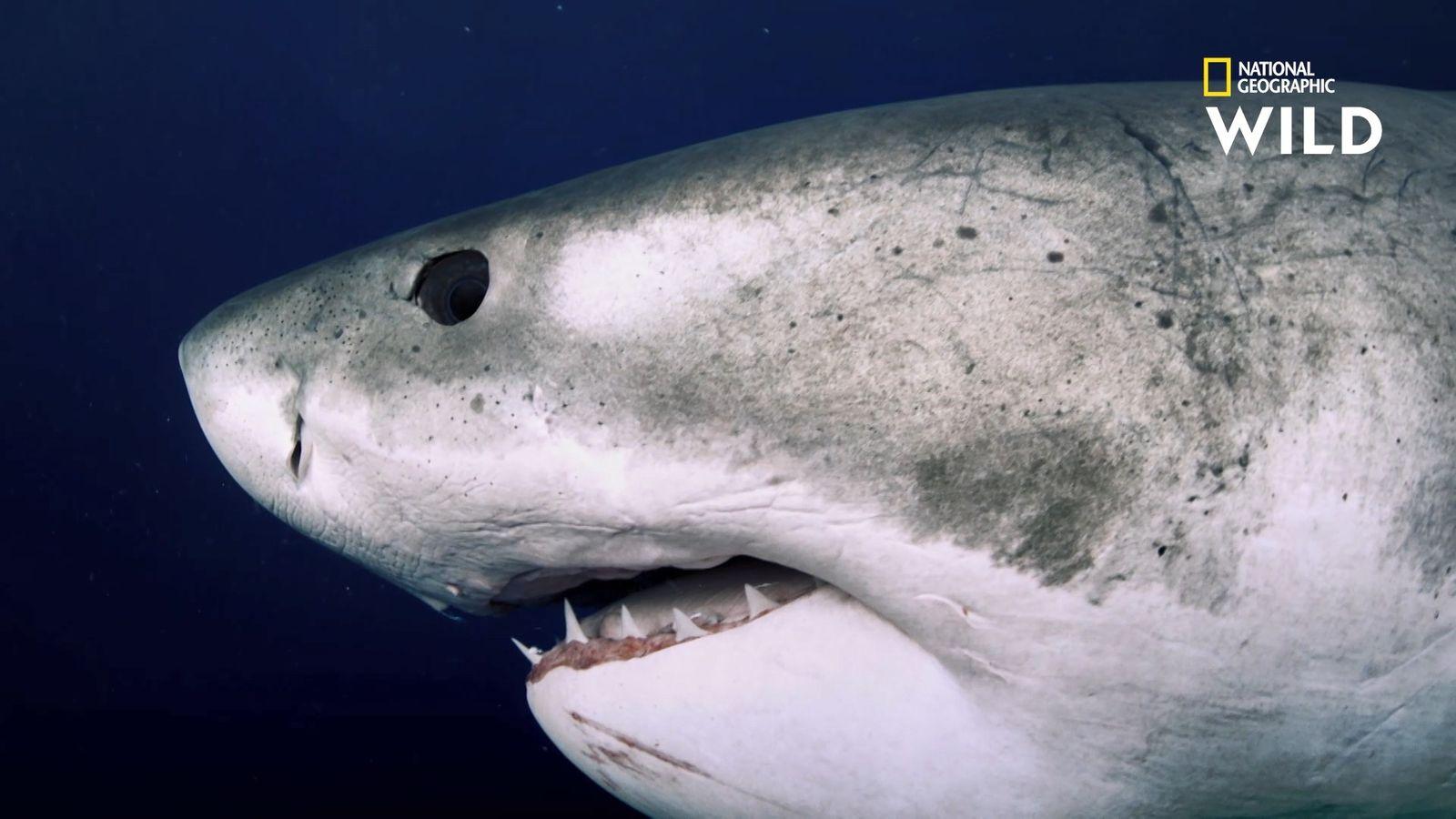 Deep Blue, le plus grand requin blanc du monde enfin retrouvé ?