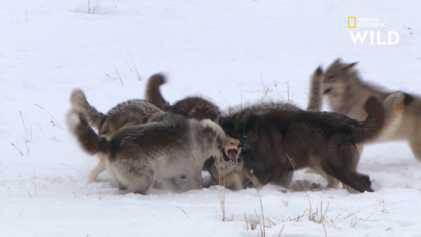 Le règne sans pitié d'une meute de loups