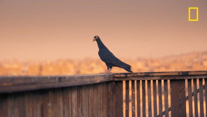 Dans le vieux Caire, une bataille de pigeons