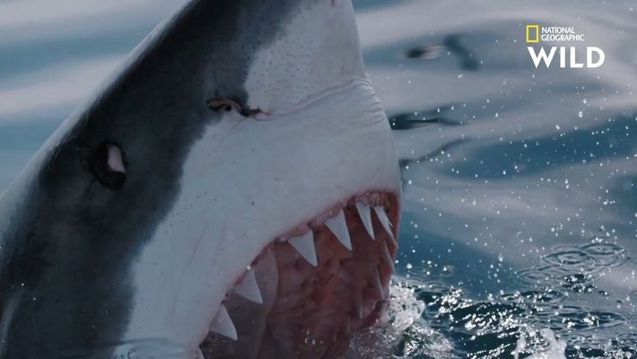 Les dents du grand requin blanc, conçues pour déchiqueter