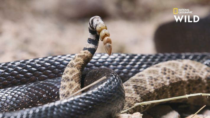 Crotale vs serpent roi