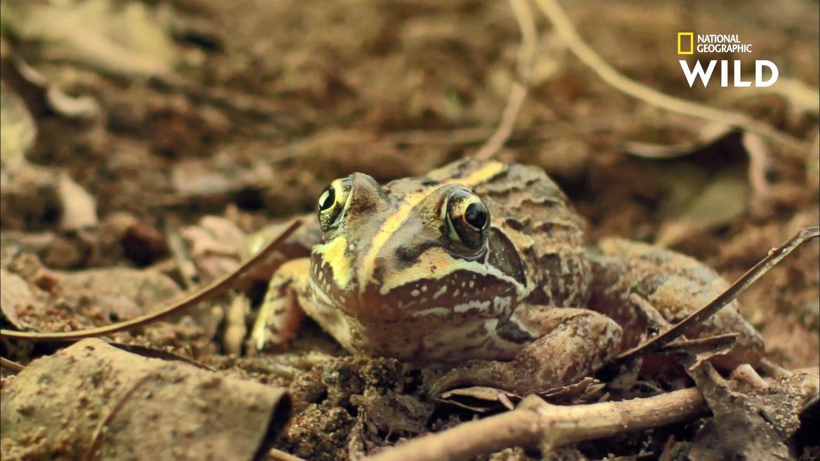 La championne du monde du saut en longueur est une grenouille