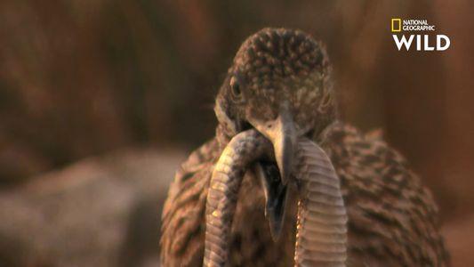 Le géocoucou, oiseau carnivore chasseur de crotales