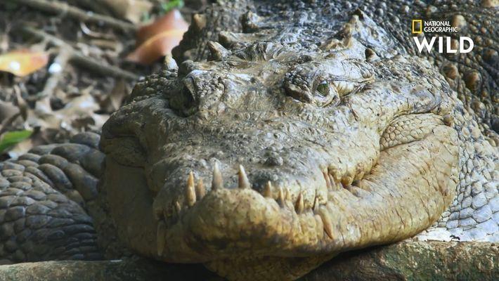 Chez les crocodiles, la dure vie des mâles alpha