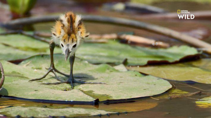 Pourquoi ces oiseaux ont-ils de si longues pattes ?