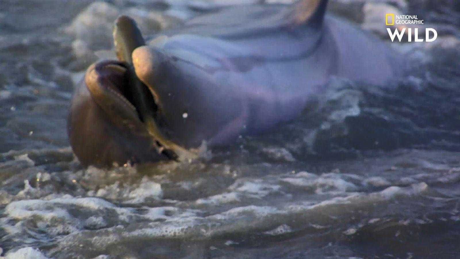 La dangereuse technique de chasse des dauphins