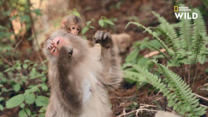 Cette forêt est envahie par des bébés singes