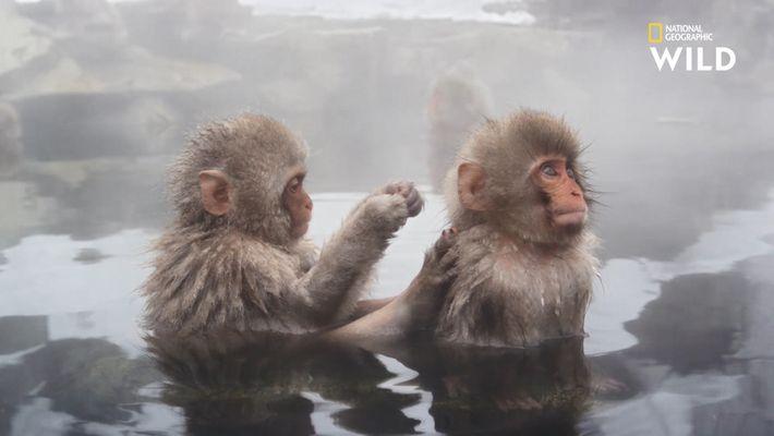Des thermes japonais spécialement bâtis pour les singes