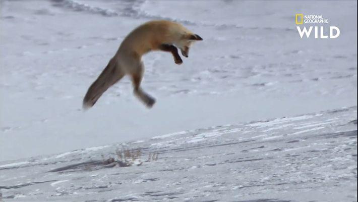 Le plongeon de la mort du renard