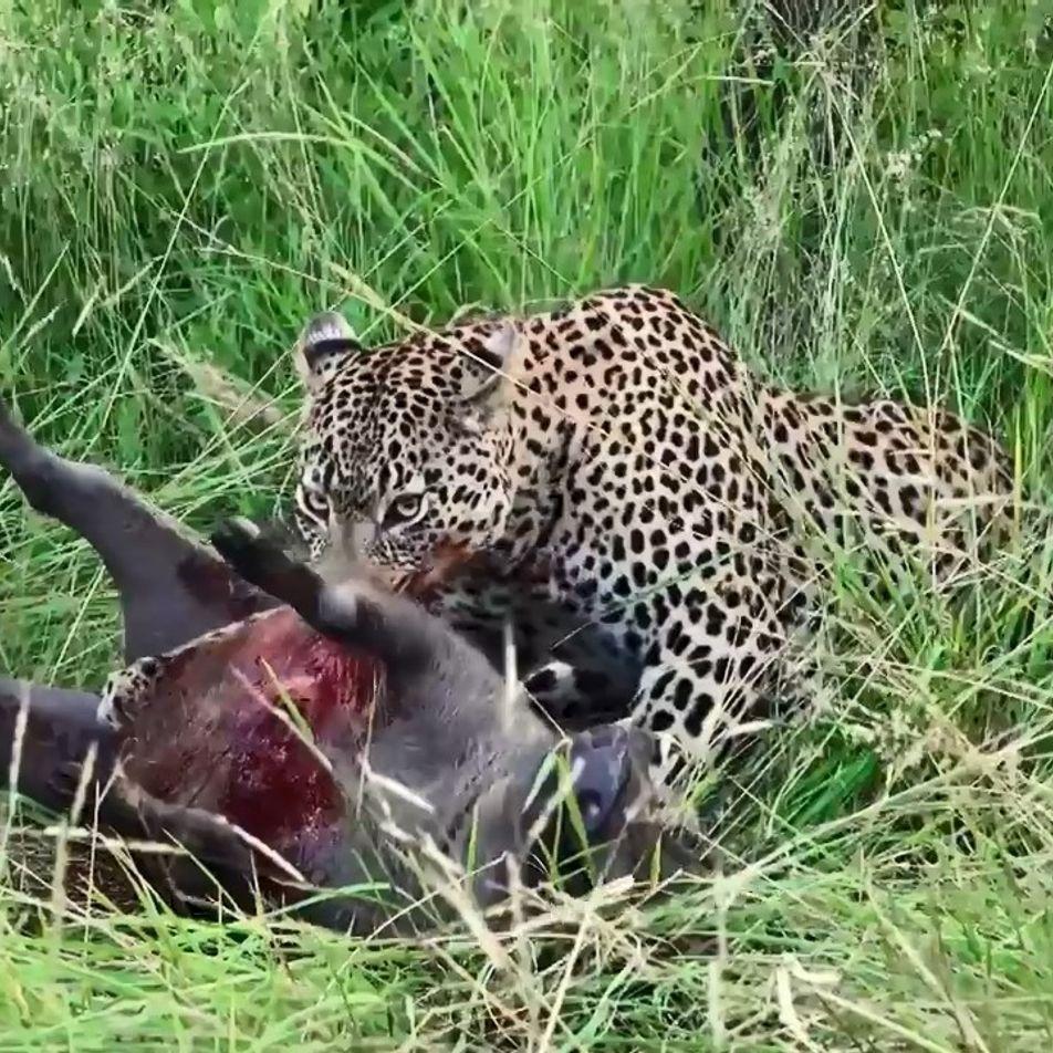 Léopard, crocodile, buffle ou phacochère, qui aura le dernier mot ?