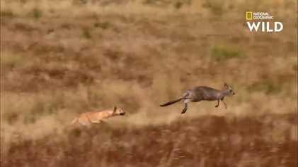 Des dingos partent à la chasse au kangourou