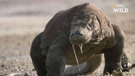 Comment étudier un dragon de Komodo sauvage ?