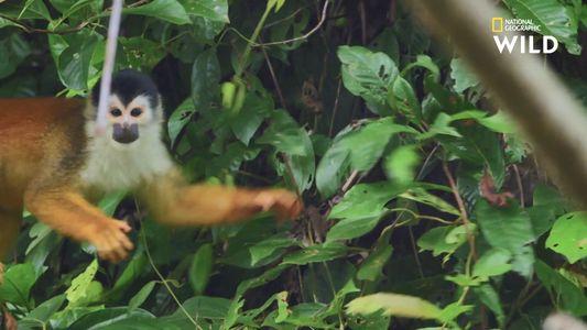 Le saimiri à dos roux, rarissime petit singe