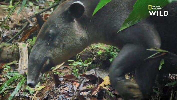 Le tapir, étrange mammifère