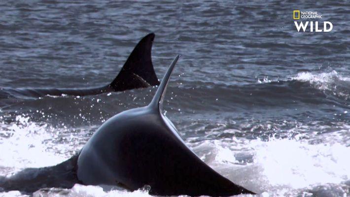 Des jeunes otaries traquées par des orques