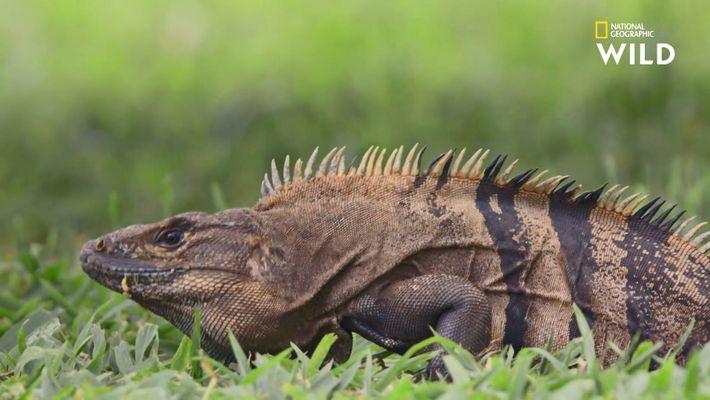 Cet iguane n'a qu'à hocher la tête pour séduire des femelles