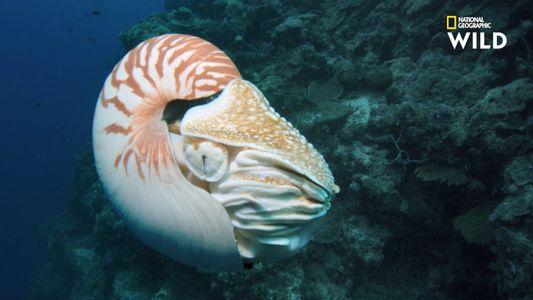 Le nautile, mystérieux céphalopode des temps anciens