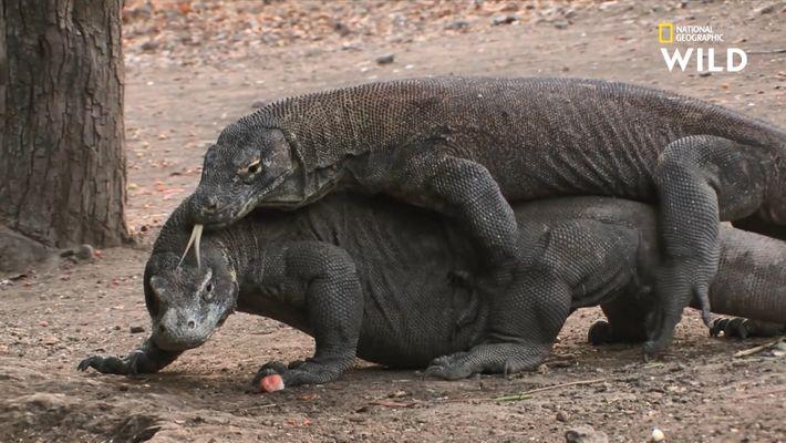 L'accouplement chez le dragon de Komodo