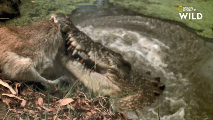 Le rouleau de la mort du crocodile