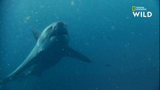 L'impressionnant arsenal sensoriel du requin