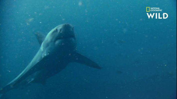 L'arsenal sensoriel du requin