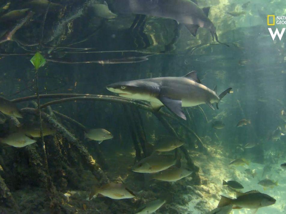 Au cœur de la mangrove avec le requin-citron
