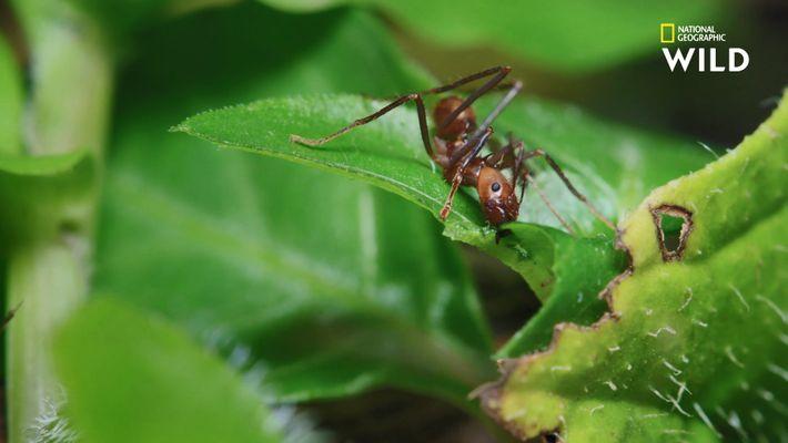 La fourmi coupe-feuille, orfèvre des sous-bois