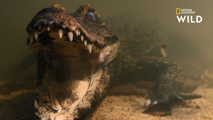 L'incroyable patience du crocodile nain